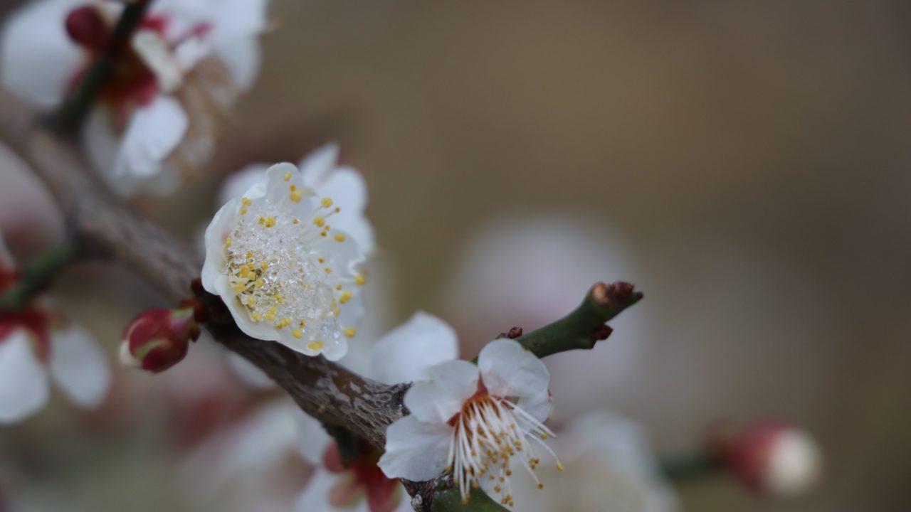 雪がついた梅の花