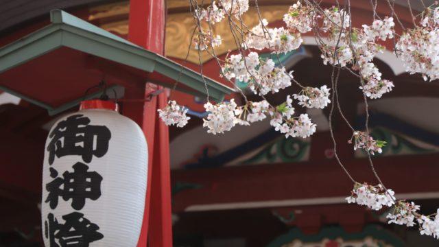 神社の提灯と桜