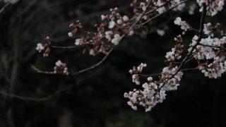 暗い背景に桜が浮かび上がる