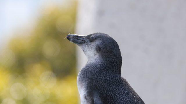 遠くをみつめるペンギン