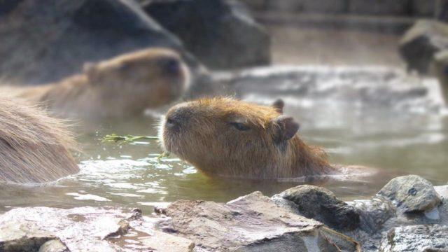 カピバラが温泉に入っている