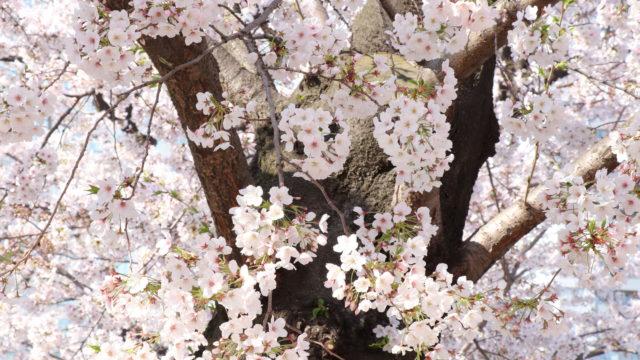漆黒の幹に咲く桜