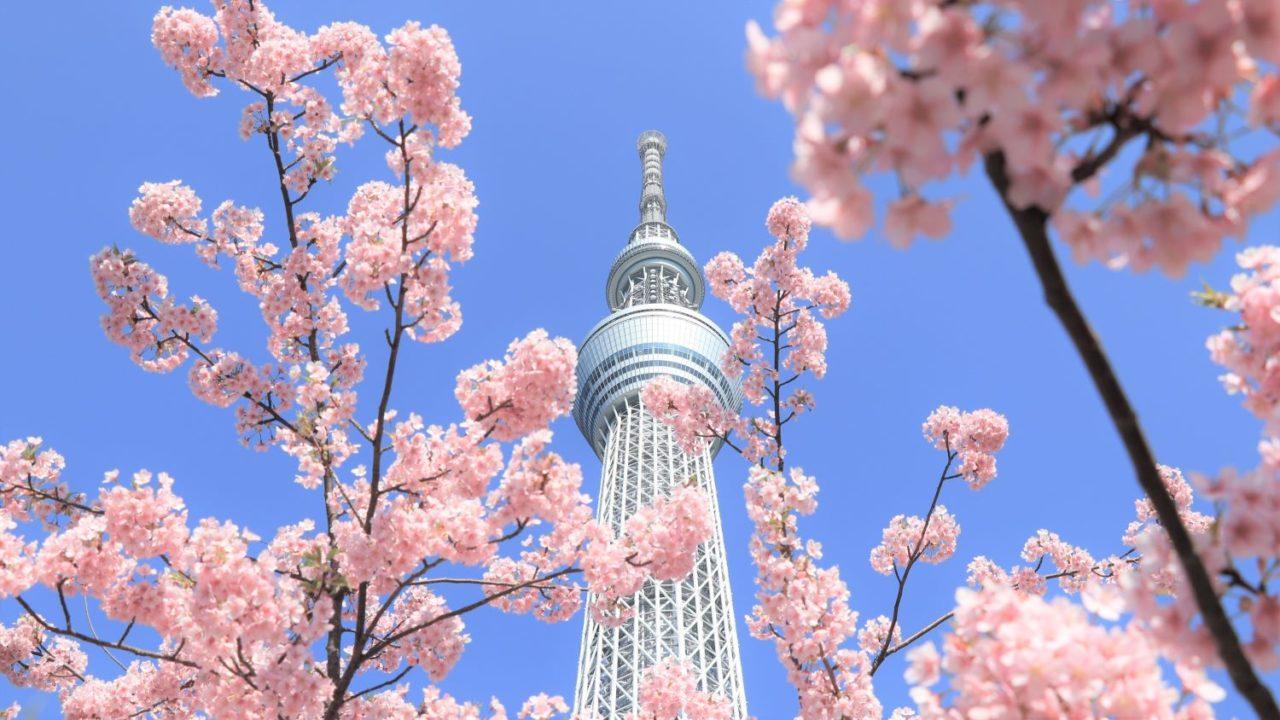 河津桜から見上げるスカイツリー