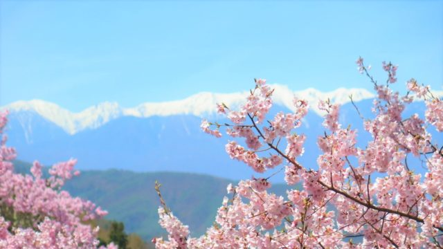南アルプスの手前に咲く桜