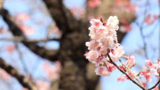 幹の手前の桜の花