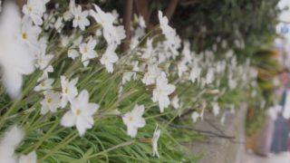 白い花が1列に咲いている