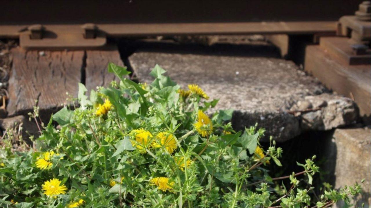 線路に咲く黄色いたんぽぽ
