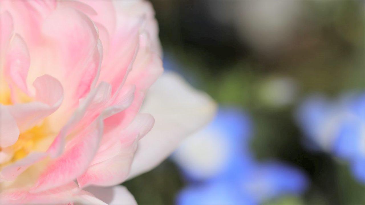チューリップの花びらのアップ