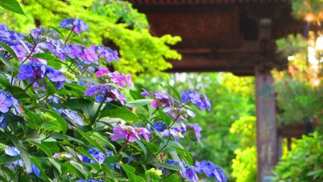 紫のアジサイが咲き乱れる