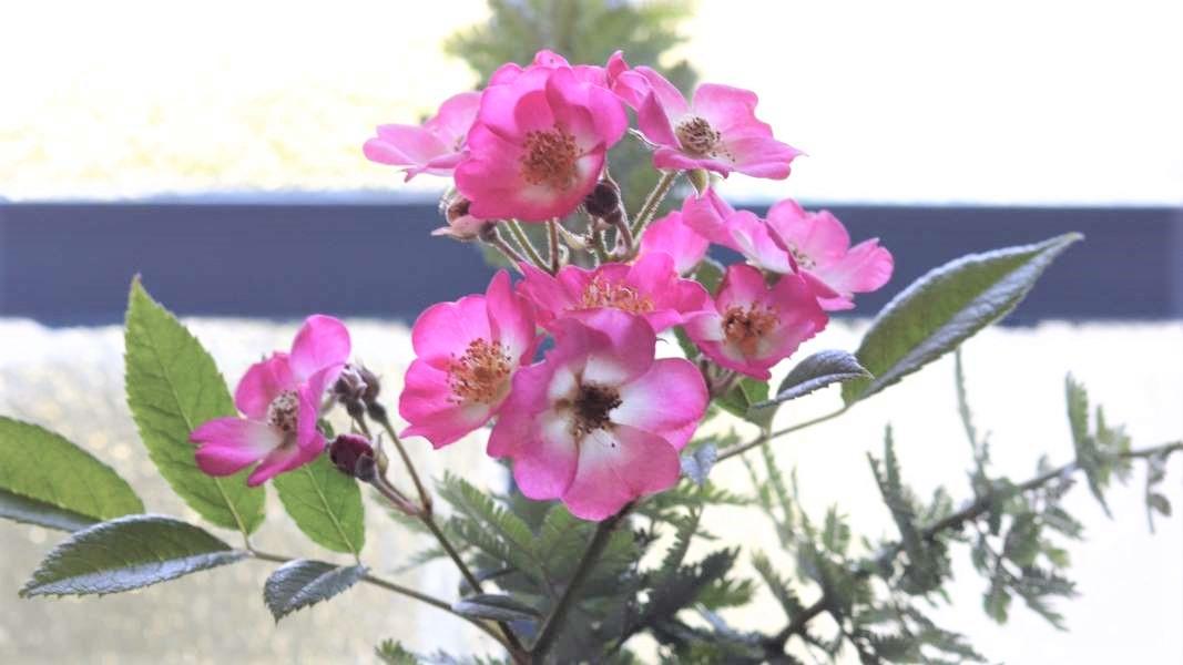 窓辺に飾られたピンクの花