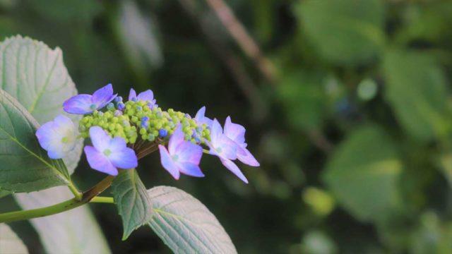 紫のアジサイの写真