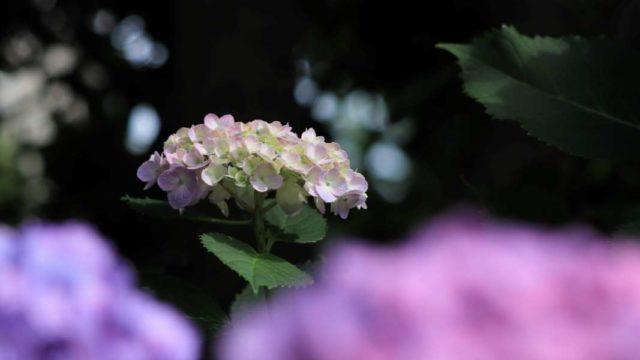 ピンクのアジサイと木漏れ日