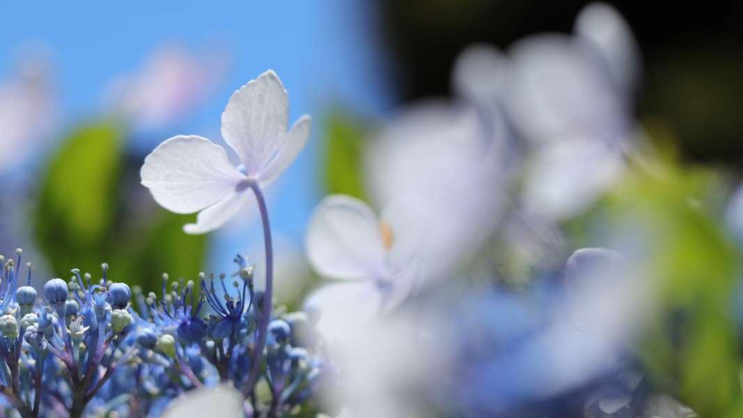 透き通るアジサイの花