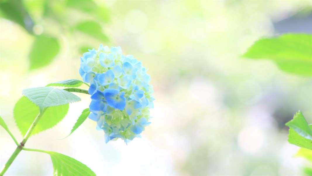 青いアジサイと玉ボケ