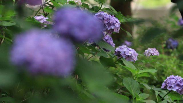 紫のアジサイが咲き乱れている