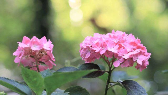 ピンクの2輪のアジサイ