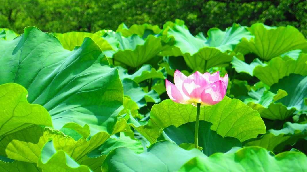 開花した蓮の花
