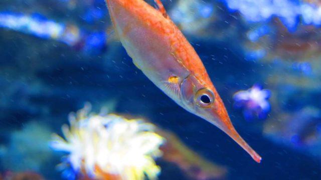 オレンジの魚